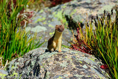 Long-tailed Weasel-245