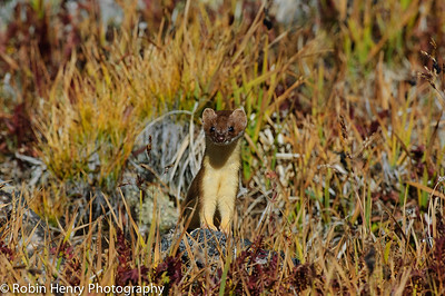 Long-tailed Weasel-174