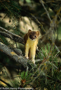 Long-tailed Weasel-101