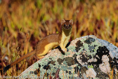 Long-tailed Weasel-165