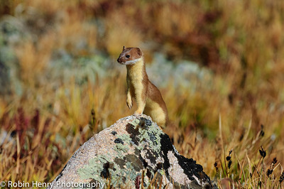 Long-tailed Weasel-229