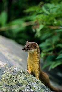 Long-tailed Weasel-105