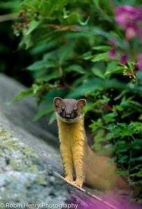 Long-tailed Weasel-106