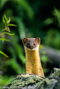 Long-tailed Weasel-103-2