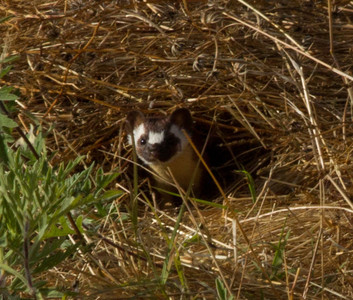 Long-tailed Weasel San Luis Rey 2012 05 27 (1 of 2).CR2 (2 of 3).CR2