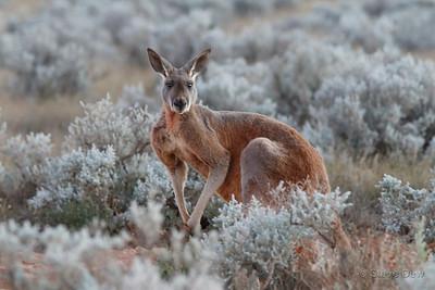 Red Kangaroo - Male