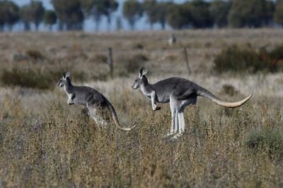Red Kangaroos - Female and Young