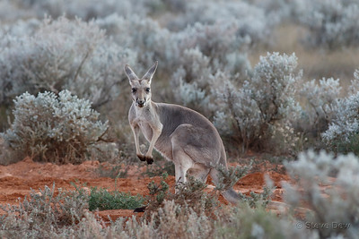 Red Kangaroo - Female