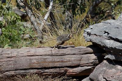 Eastern Short-eared Rock-Wallaby