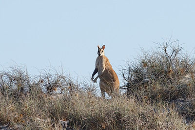 Agile Wallaby - Male
