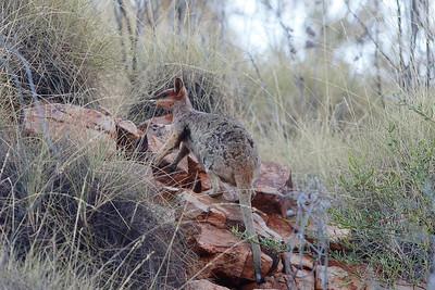 Purple-necked Rock-Wallaby