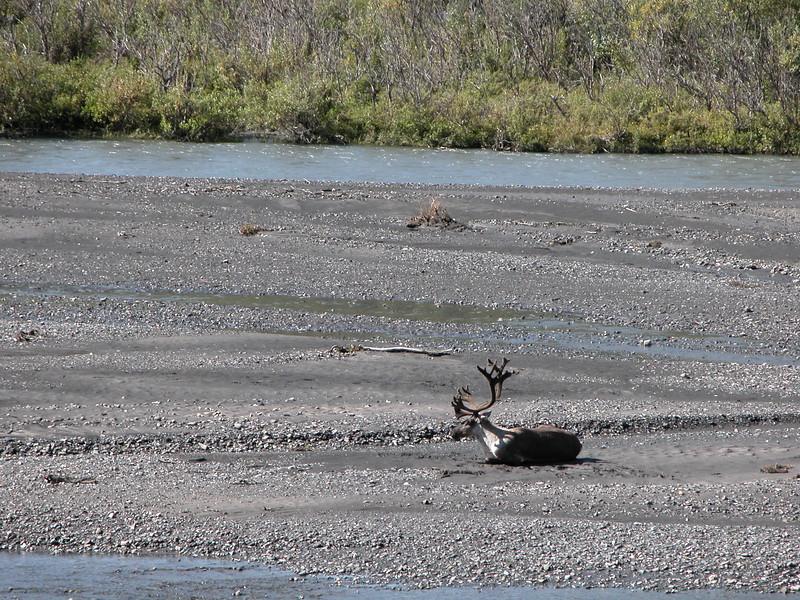 Caribou 2005-08-12 Alaska Picture 082