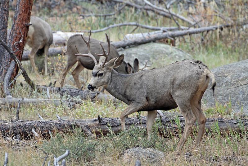Deer, Mule 2011-10-10 RMNP IMG_3471-1