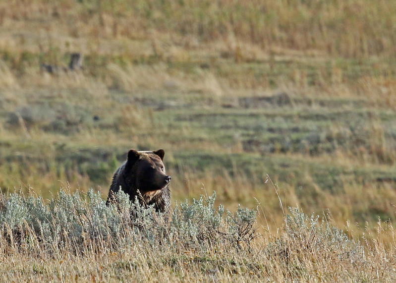 Bear, Grizzly 2015-09-17 Yellowstone 2015 620-1