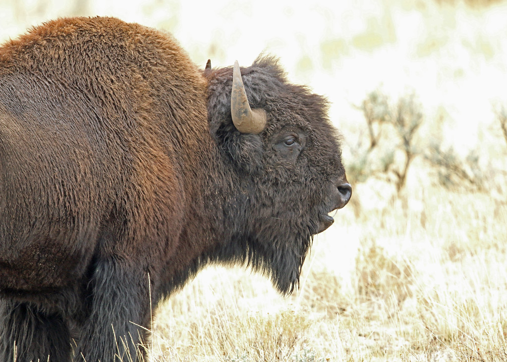 Bison, American  2015-09-17 Yellowstone 2015 064-1