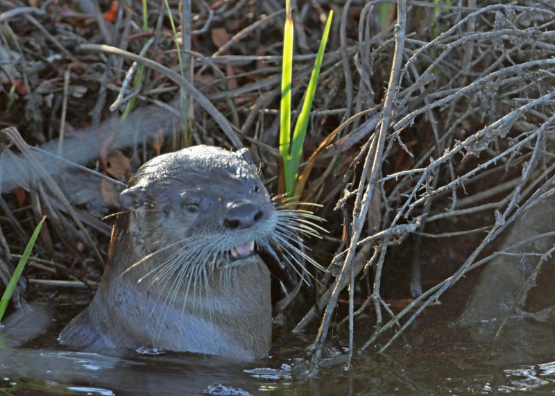 Otter, River 2017-01-25 Winter CBC Outer Banks 613-1
