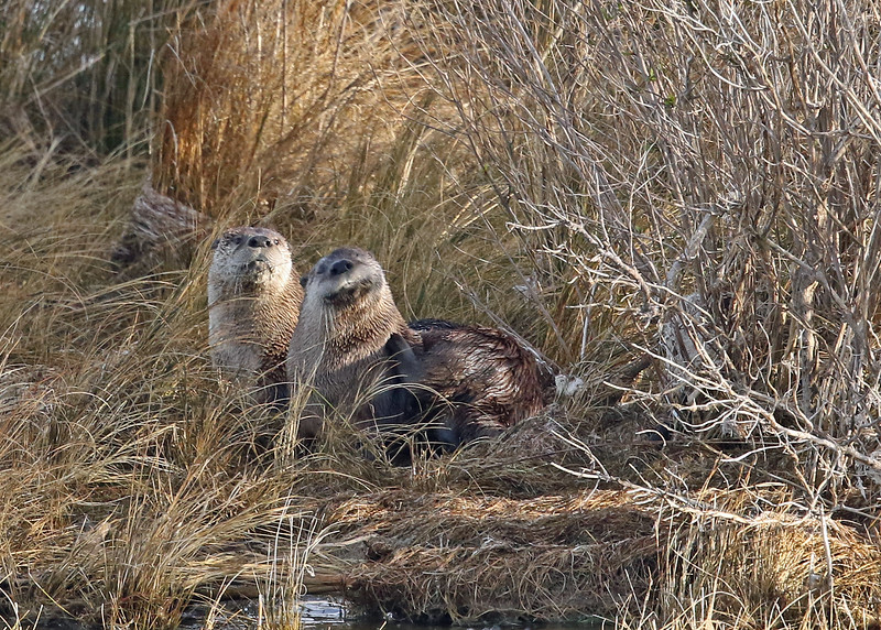 Otter, River 2019-01-17 CBC OBX 456-1