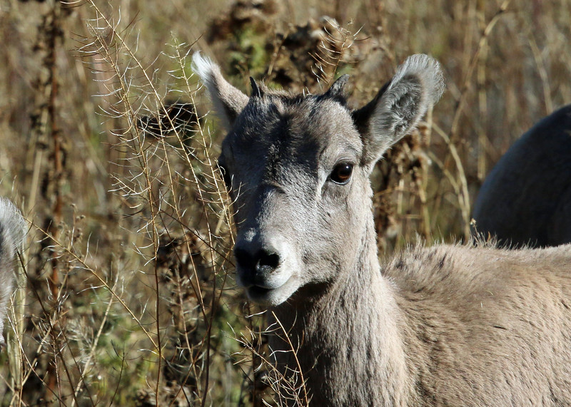 Sheep, Big Horn 2015-09-17 Yellowstone 2015 682-1