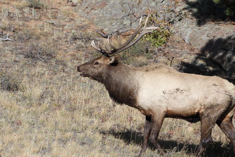 Elk, Rocky Mountain RMNP 2011-10-10 IMG_3545