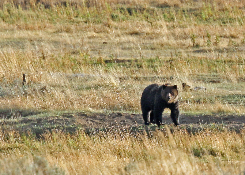 Bear, Grizzly 2015-09-17 Yellowstone 2015 588-1