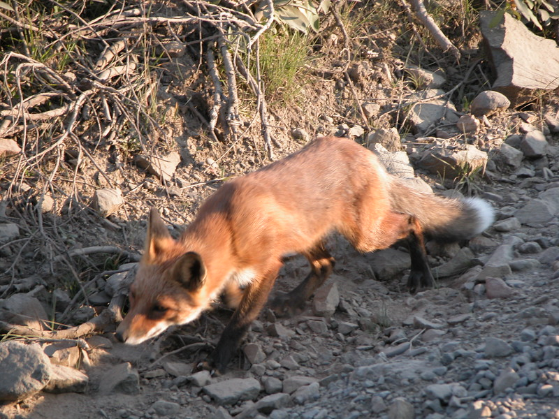 Fox, Red 2005-08-12 Alaska Picture 212