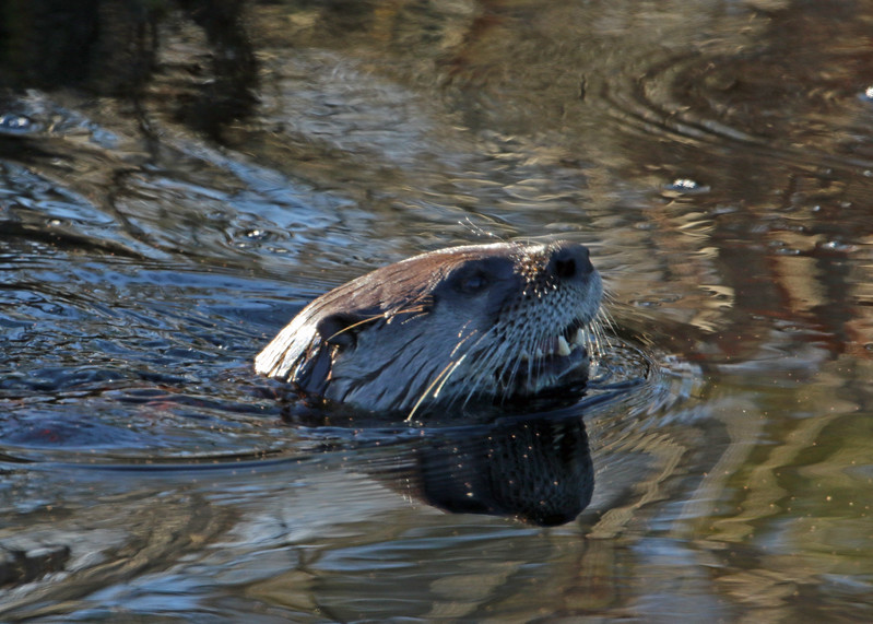 Otter, River 2017-01-25 Winter CBC Outer Banks 617-1