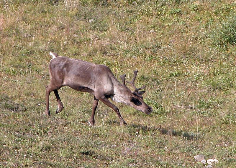 Caribou 2005-08-12 Alaska Picture 185-1