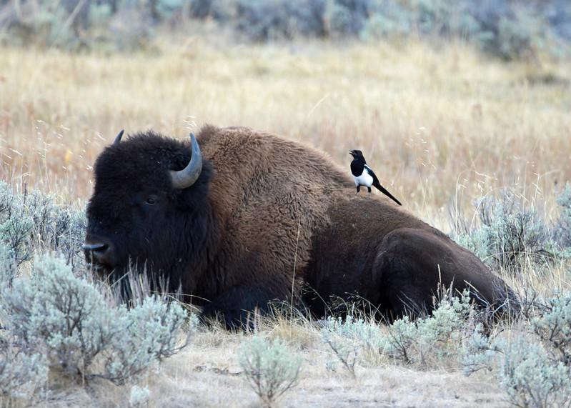 Bison, American  2012-09-25 Yellowstone 345-1