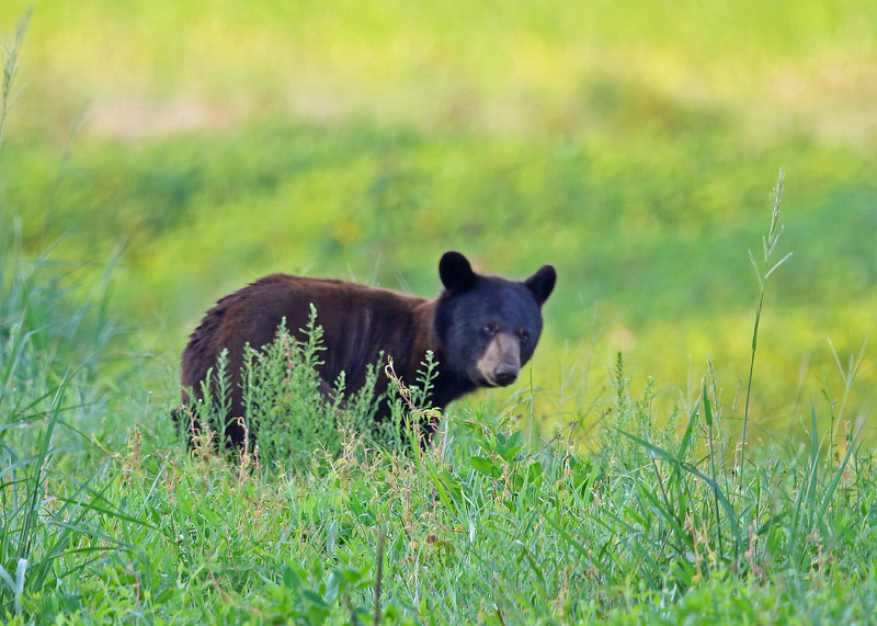 Bear, Black 2015-08-05 Alligator River NWR 180-1