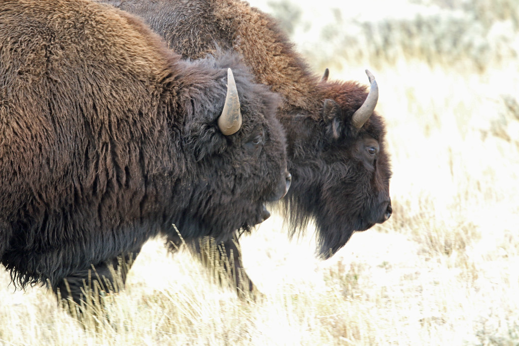 Bison, American  2015-09-17 Yellowstone 2015 065-1