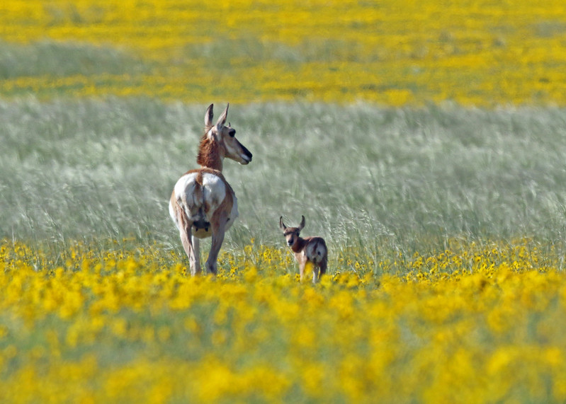 Antelope, Pronghorn 2014-06-11 Colorado 686-1