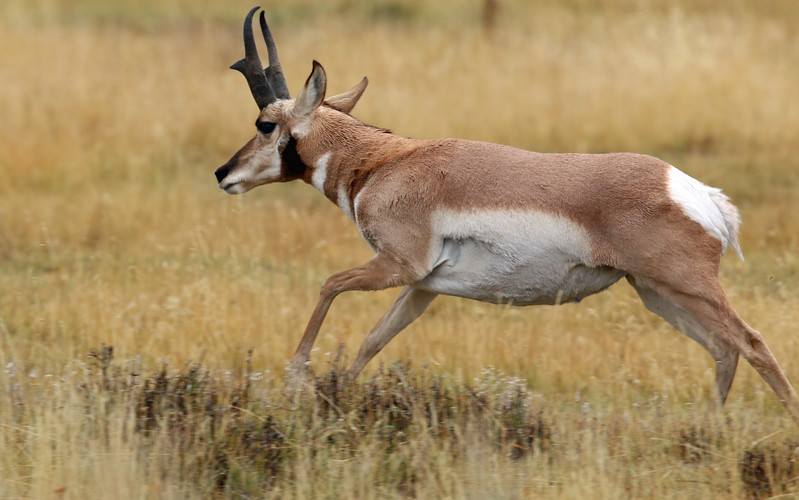 Antelope, Pronghorn 2015-09-17 Yellowstone 2015 033-1