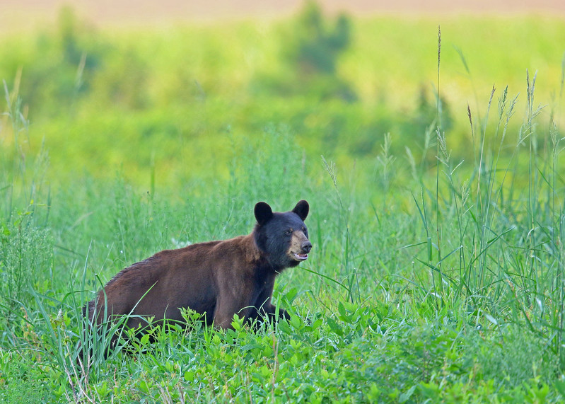 Bear, Black 2015-08-05 Alligator River NWR 175-1