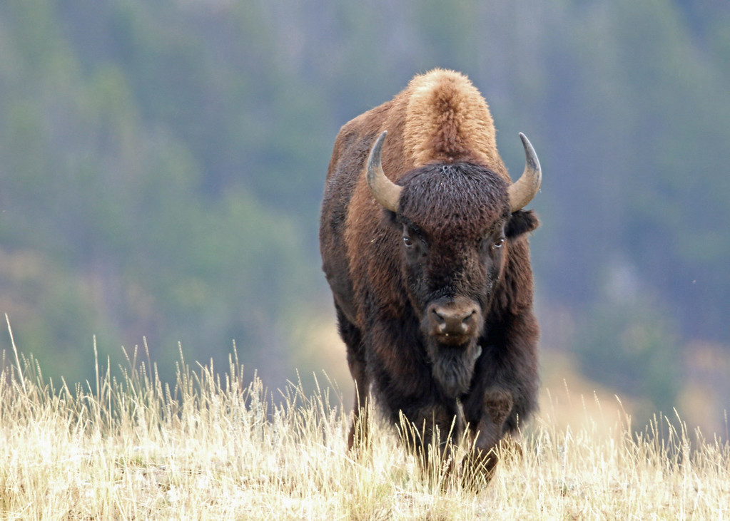 Bison, American  2015-09-17 Yellowstone 2015 079-1