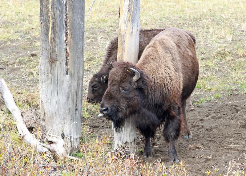 Bison, American  2012-09-25 Yellowstone 110-1