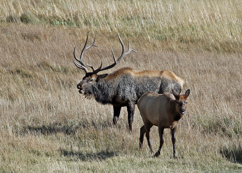 Elk, Rocky Mountain RMNP 2011-10-10 IMG_3523-1