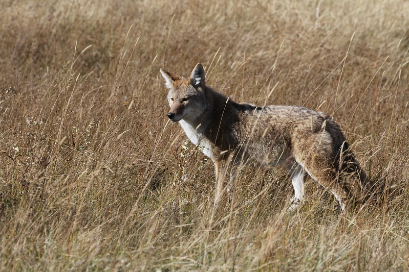 Coyote RMNP 2011-10-10 IMG_3541