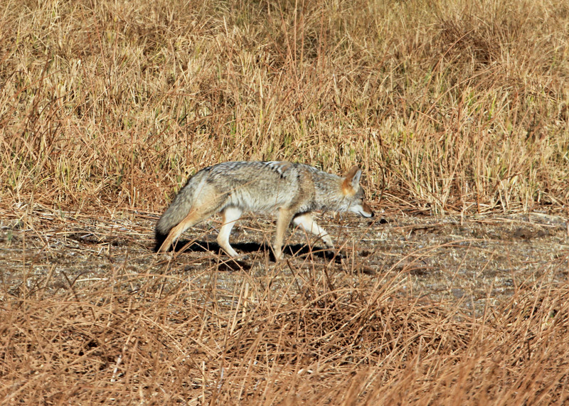 Coyote 2012-09-25 Yellowstone 563-1