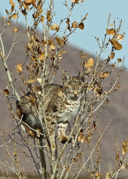Bobcat 2018-01-14 New Mexico 361-1