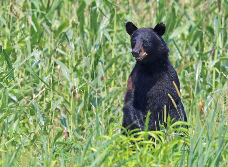 Bear, Black 2015-08-05 Alligator River NWR 445-1