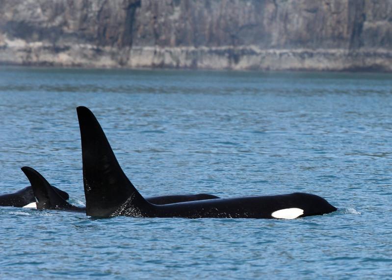 Whale, Killer 2013-06-26 Alaska 186-1