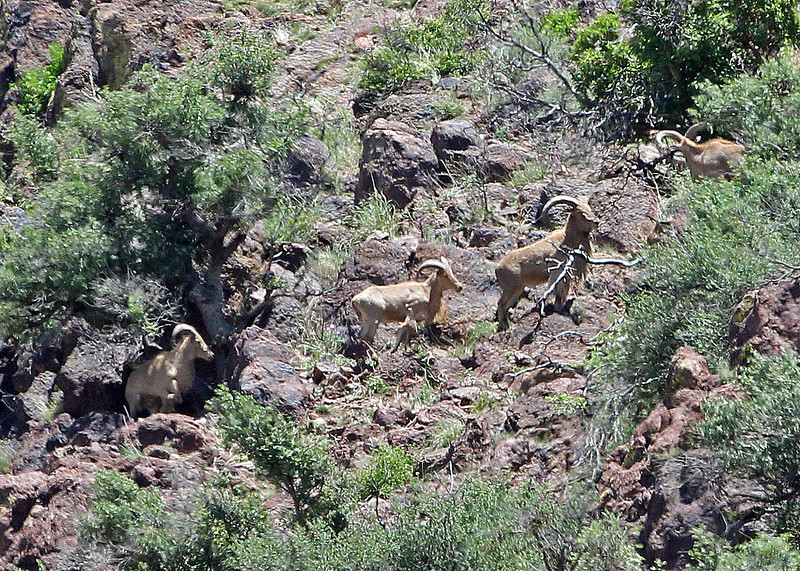 Sheep, Desert Big Horn 2015-05-23 Texas 417-1