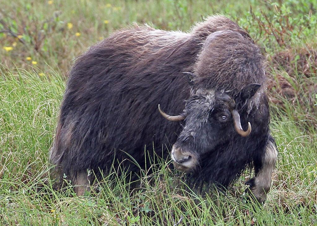 Musk-Ox 2013-06-26 Alaska 504-2