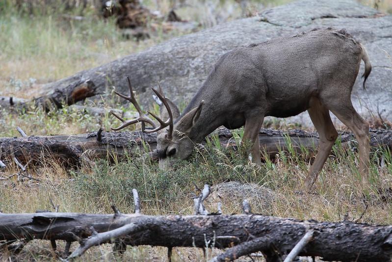 Deer, Mule 2011-10-10 RMNP IMG_3470