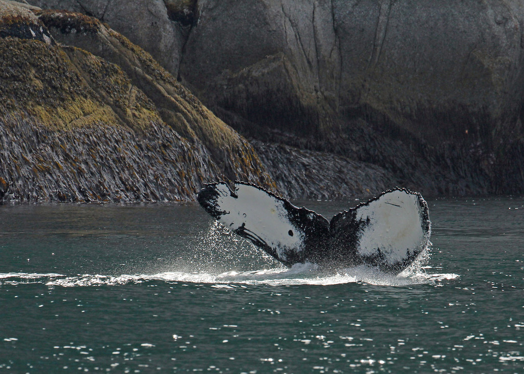 Whale, Humpback 2013-06-26 Alaska 161-1