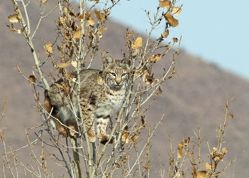Bobcat 2018-01-14 New Mexico 358-1
