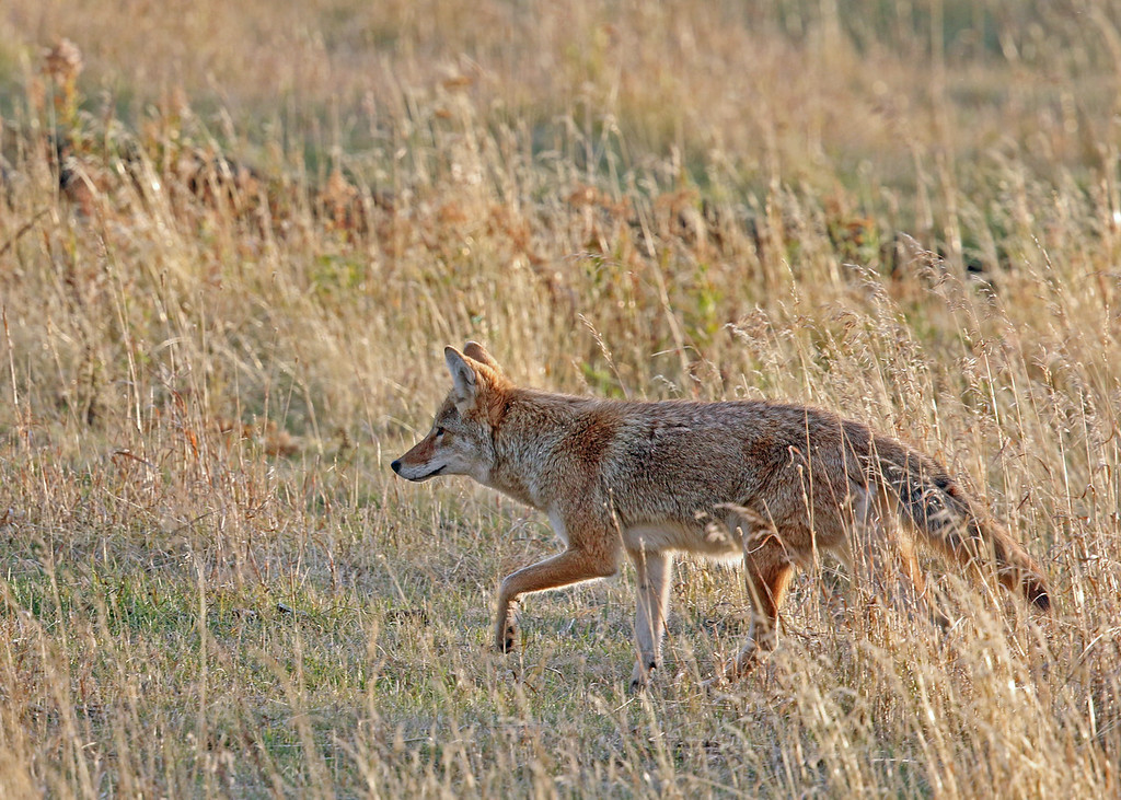 Coyote 2015-09-17 Yellowstone 2015 630-1