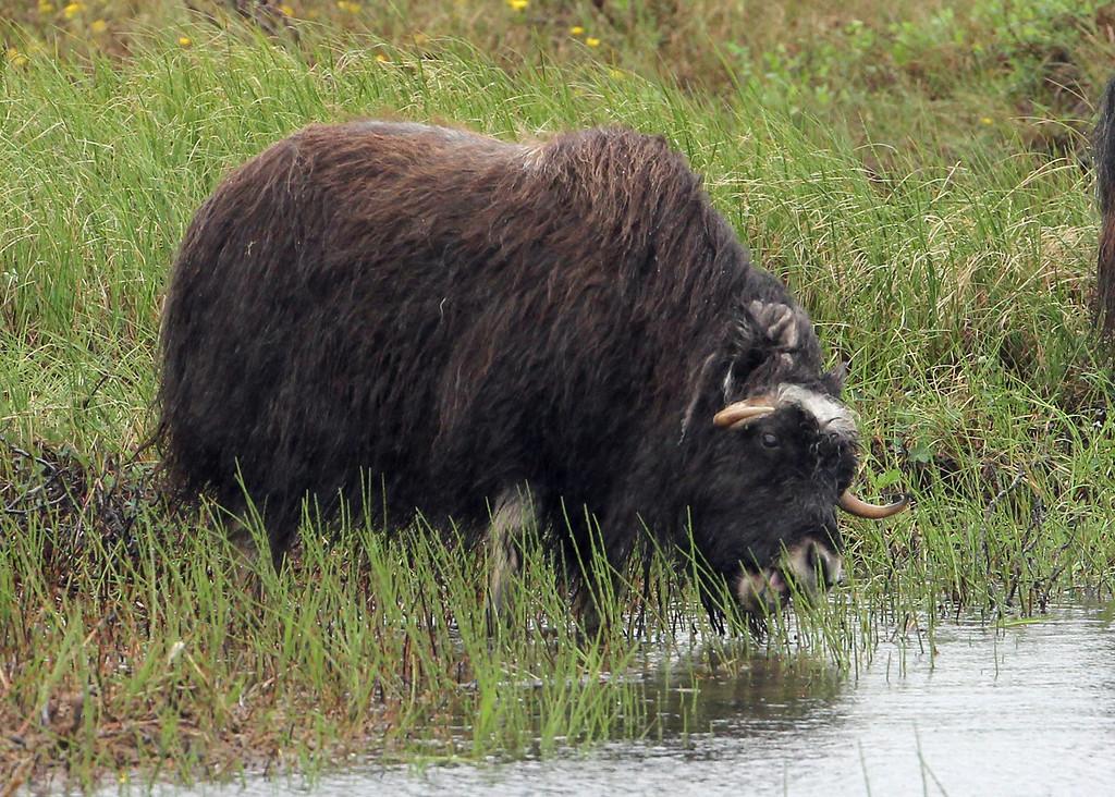 Musk-Ox 2013-06-26 Alaska 508-1