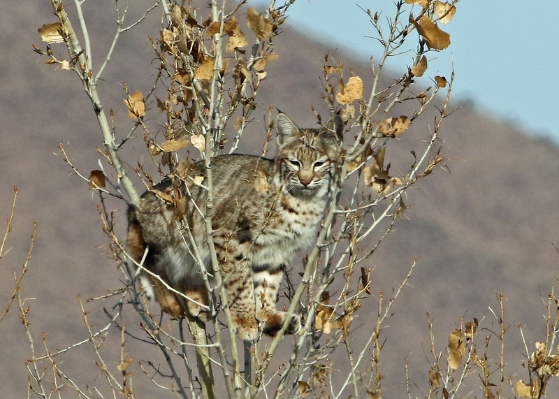 Bobcat 2018-01-14 New Mexico 354-1