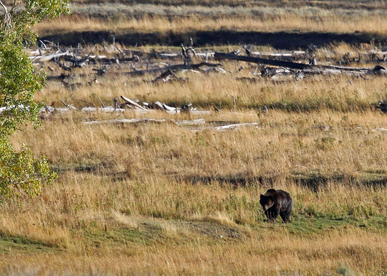 Bear, Grizzly 2015-09-17 Yellowstone 2015 561-1